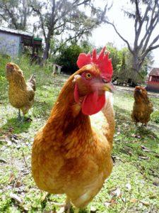 farmhouse sanctuary chicken